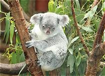 Kleiner Koalabär