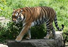 Ein Tiger auf der Jagd